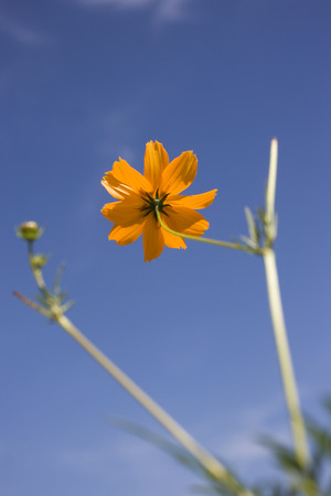 A view from bottom to show the beauty of the yellow daisy and the sky.