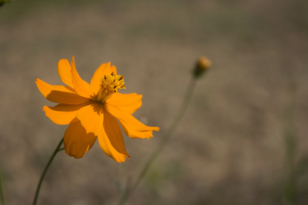 A view of the yellow daisy found in a field.