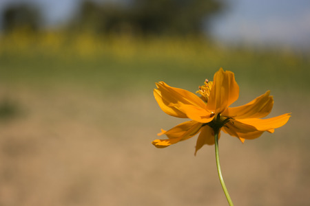 A view of yellow daisy found in a field. Stock Photo