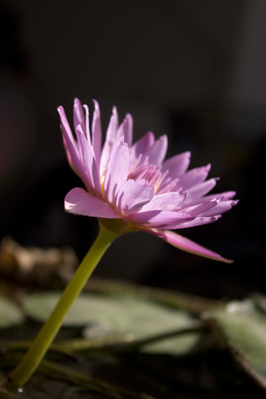 side lighting: Side view of A Pink water lily in a garden with backlit lighting.