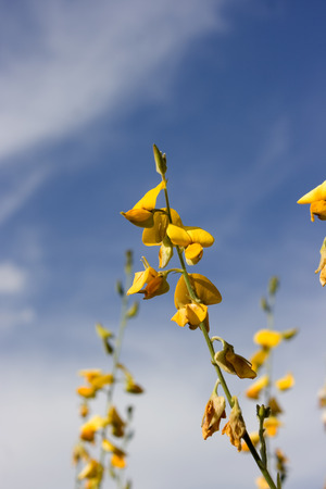 Rapeseeds are also known as canola which can produce canola oil for cooking. Stock Photo