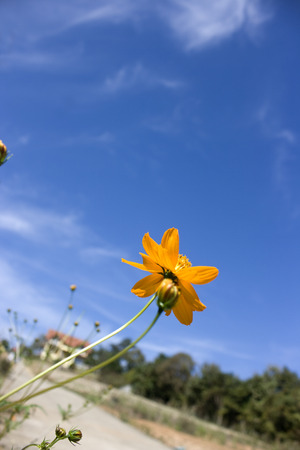 A low angle view to show the beauty of the yellow daisy and the sky. Stock Photo