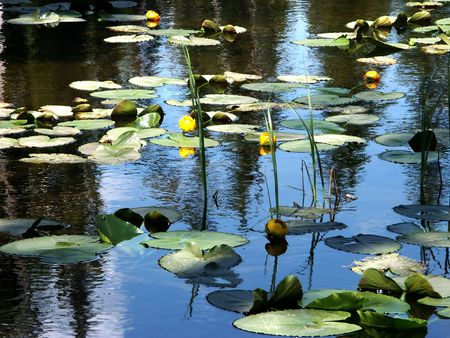 Water Lilies - Nenuphars located at high altitude at the Continental Divide