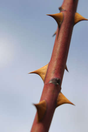 sharpness: Rose Thorns - Stem of a � New Dawn � climbing rose before the foliage growth in Early Spring.  The focus is on one thorn only to accentuate its protective sharpness. Stock Photo