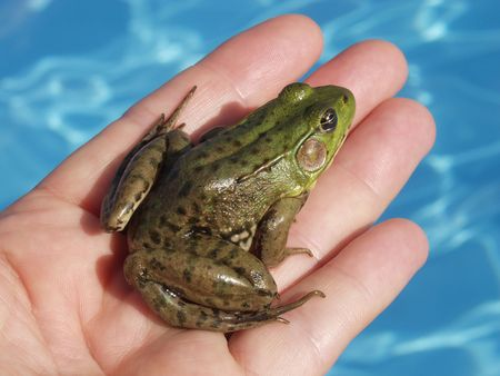 rescued: A Green Frog (Rana Clamitans) is rescued from a swimming pool just outside Montreal, Quebec, Canada.