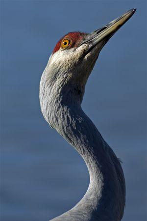 sandhill crane: An inquisitive Sandhill Crane. Stock Photo