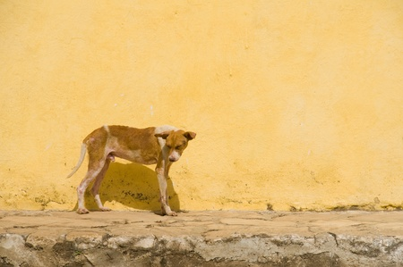 A hot and tired dog standing in front of a yellow wall in a central Cuban town. Stock Photo