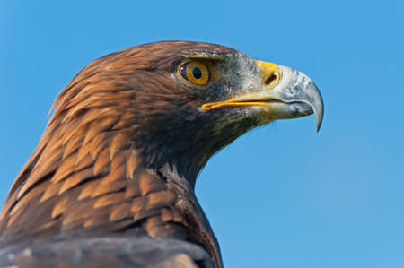 The head of a Golden Eagle in profile. photo