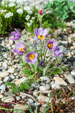 Stone garden with pasque flower photo