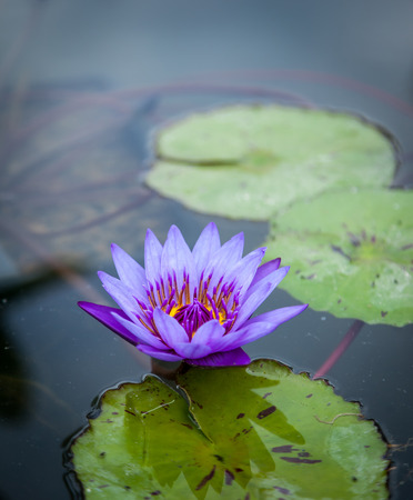 hardening: Beautiful Pink Lotus, water plant in a pond