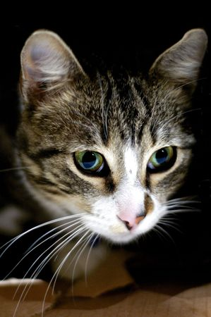 powerfull: caby cat, pet portrait with powerfull eyes
