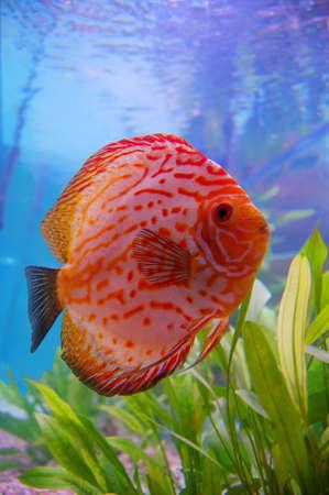 peces de acuario: Discu adultos, los peces tropicales de acuario