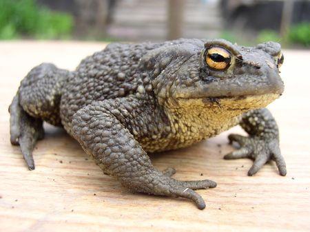 anuran: Earth-toad