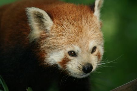 red Panda - little Panda photo