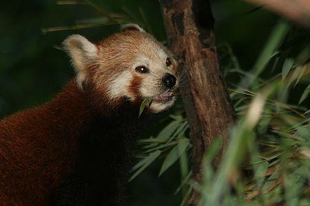 red Panda - little Panda photo