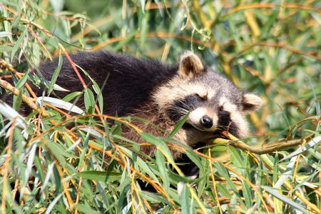 hunter playful: Raccoon sleeping in a tree Stock Photo