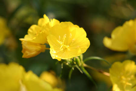 oenothera biennis: a lovely yellow flower