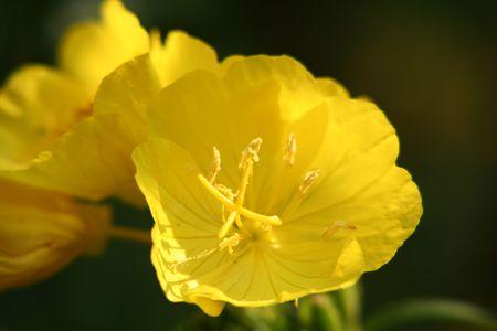 oenothera biennis: primerose close-up Stock Photo