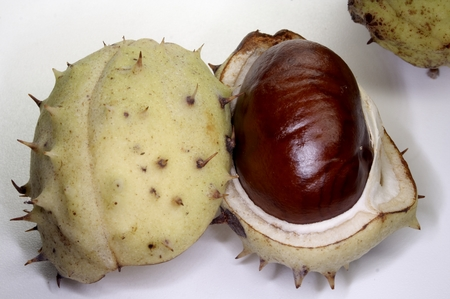 chestnut with shell photo