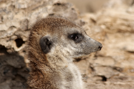 suricatta: Suricata suricatta closeup