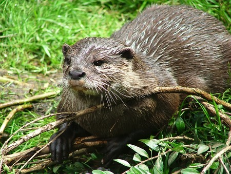 small clawed: Oriental small-clawed otter in the nature
