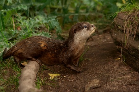 aonyx cinerea: Oriental small-clawed otter in the nature