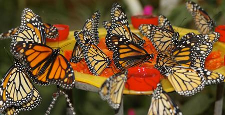 plexippus: butterfly in nature - Monarch - Danaus plexippus