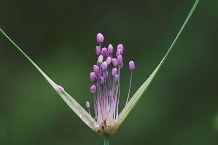 blossom of wild leek, lat. allium carinatum photo