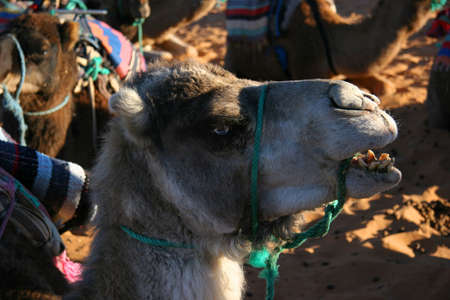 saddle camel: Camel Head
