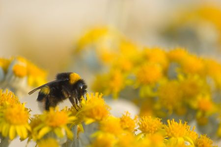 Bee in yellow frower