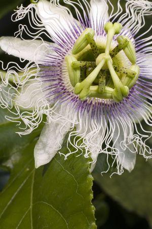 Passion fruit flower photo