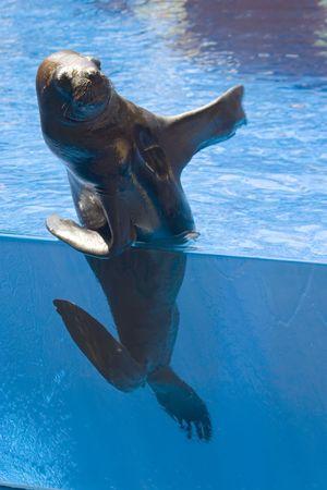 Sealion on the zoo pool