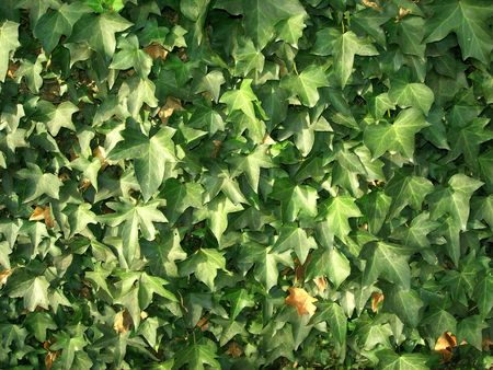 Wall with green leaves of ivy