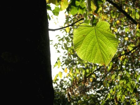 Green leaf on tree with backlight