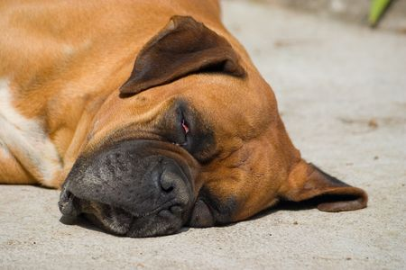 trusty: Boxer sleeping on the ground