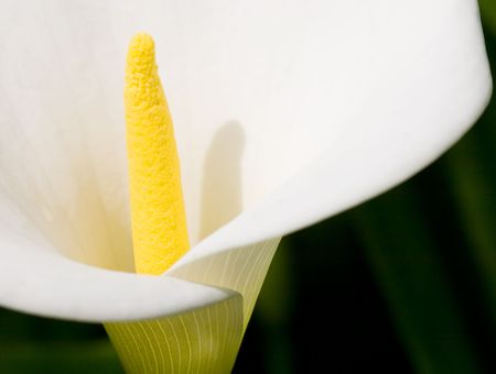 opened yellow lily close up Stock Photo