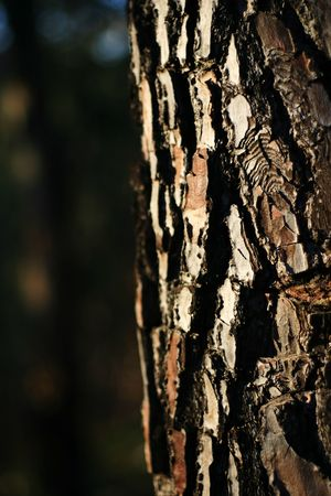 Pine texture with sunset light from the left