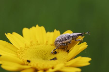 yellow daisy with a bug ready to jump Stock Photo
