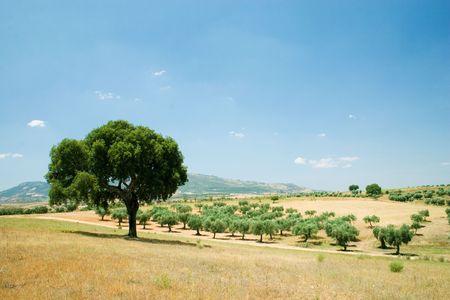Quercus suber in blue sky