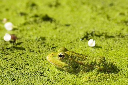 beautiful lake frog on water with gold eye photo