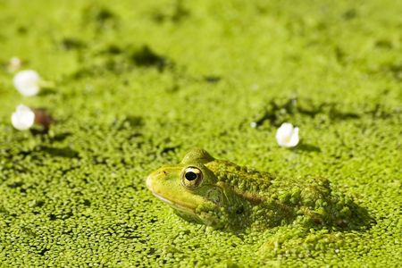beautiful lake frog on water with gold eye