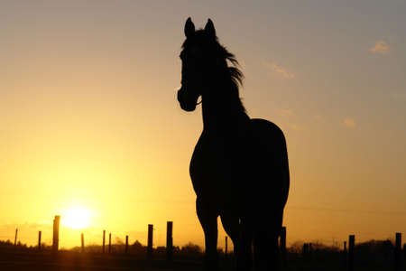 A horse backlit by the sunset