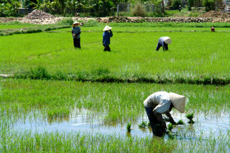 Rice field workers Stock Photo