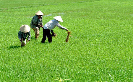 conical: Rice field workers Stock Photo