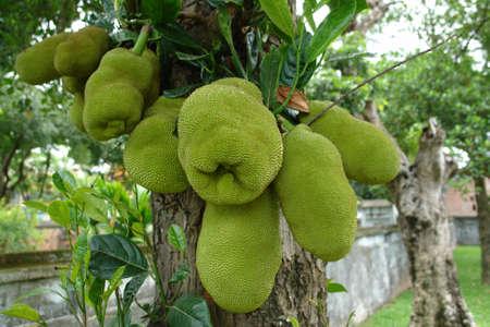 pointy: Jackfruit on tree