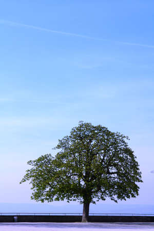 Single tree with a clear crisp blue sky  Stock Photo