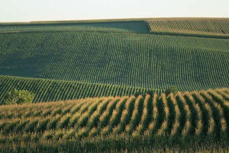nebraska: Nebraska cornfields