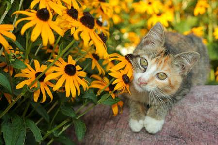 calico: calico kitten with Black-Eyed Susans Stock Photo