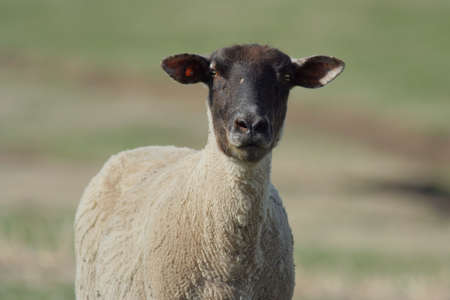 recently: black-faced ewe, recently sheared in spring