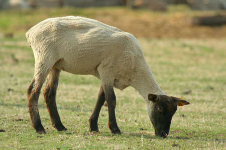 recently: black-faced sheep grazing, recently sheared